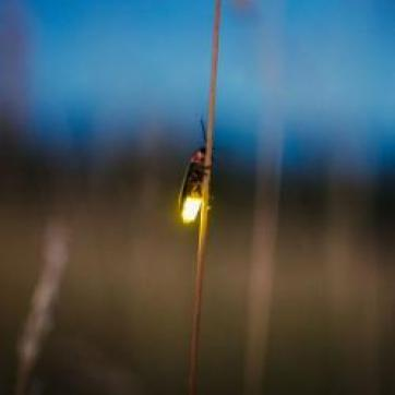 A firefly climbs a blade of grass with it's abdomen glowing